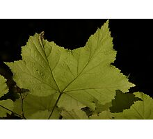 Backlit Leaf Photographic Print