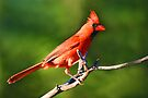 Northern Cardinal by Lynda  McDonald