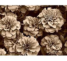 Sepia Marigolds Photographic Print