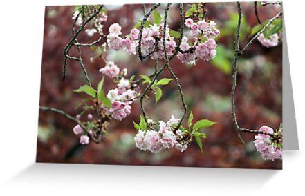 Cherry Blossoms by yolanda