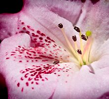 Pink shimmer by Ashraf Saleh
