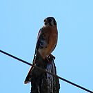 American Kestrel by flyfish70