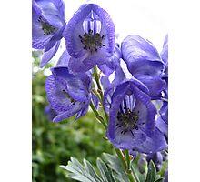 Lilac Blues Photographic Print