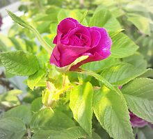 Late Summer Rose by copperhead