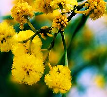 Yellow Wattle by TeAnne
