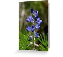 Wild Blue Lupin Greeting Card