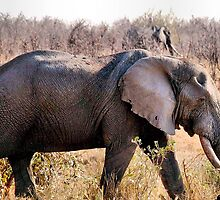 "GREAT TUSKERS OF THE ""KRUGER NATIONAL PARK"" by Magriet Meintjes"