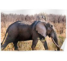 """GREAT TUSKERS OF THE """"KRUGER NATIONAL PARK"""" Poster"""