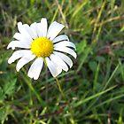 White Daisy by Seth LaGrange