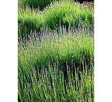 Lavender light Photographic Print