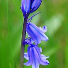 Bluebell macro by mooksool