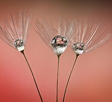 Pink Drops by Barb Leopold