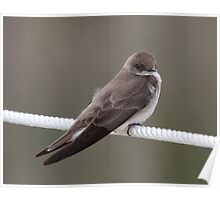 Northern Rough-winged Swallow Poster