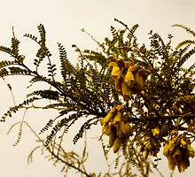 Kowhai shine on a gloomy spring day by alexschwab