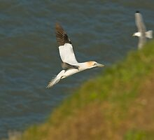 GANNET FLYING by andysax