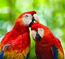 Scarlet Macaws by cfu123