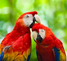 Scarlet Macaws by Chuck Underwood