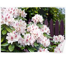 Pink Beauty in Spring Poster