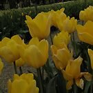 Beautiful Yellow Tulips by judygal
