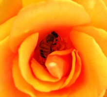 Rose bee by HelenRoberts