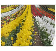 Tulips Tulips Everywhere Poster