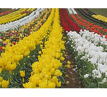 Tulips Tulips Everywhere Photographic Print