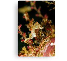 Weedy Pygme Seahorse Canvas Print