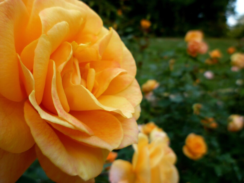 Peach Rose by Works By  Barbara