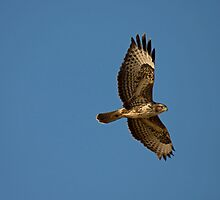 buzzard by Jon Lees