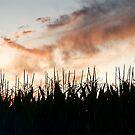 Corn field Sunset by H A Waring Johnson