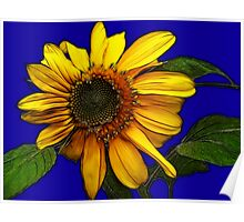 Sunflower On Blue Poster