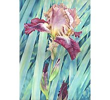Bearded Iris Photographic Print