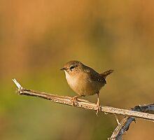 Autumnal Wren by Jon Lees