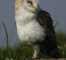 Portrait of a Barn Owl by Anne-Marie Bokslag