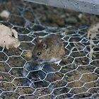 mouse by DazF