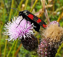 Burnet Moth by delaol