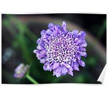 *'BUTTERFLY BLUE' PINCUSHION PLANT* Poster