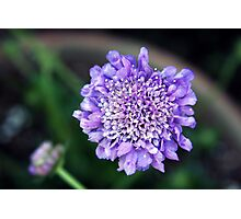 *'BUTTERFLY BLUE' PINCUSHION PLANT* Photographic Print