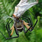 Yellow Garden spider by ClintDMc