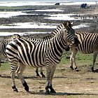 Zebras, Chobe by Margaret  Hyde