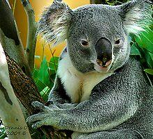 """"""" Koala """" by canonman99"""