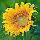 Uplifted Sunflower With Green Bug by H A Waring Johnson