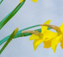 Daffodils with Raindrops Sticker