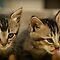 The Cats Miaow
