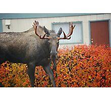 neighborhood moose... Photographic Print