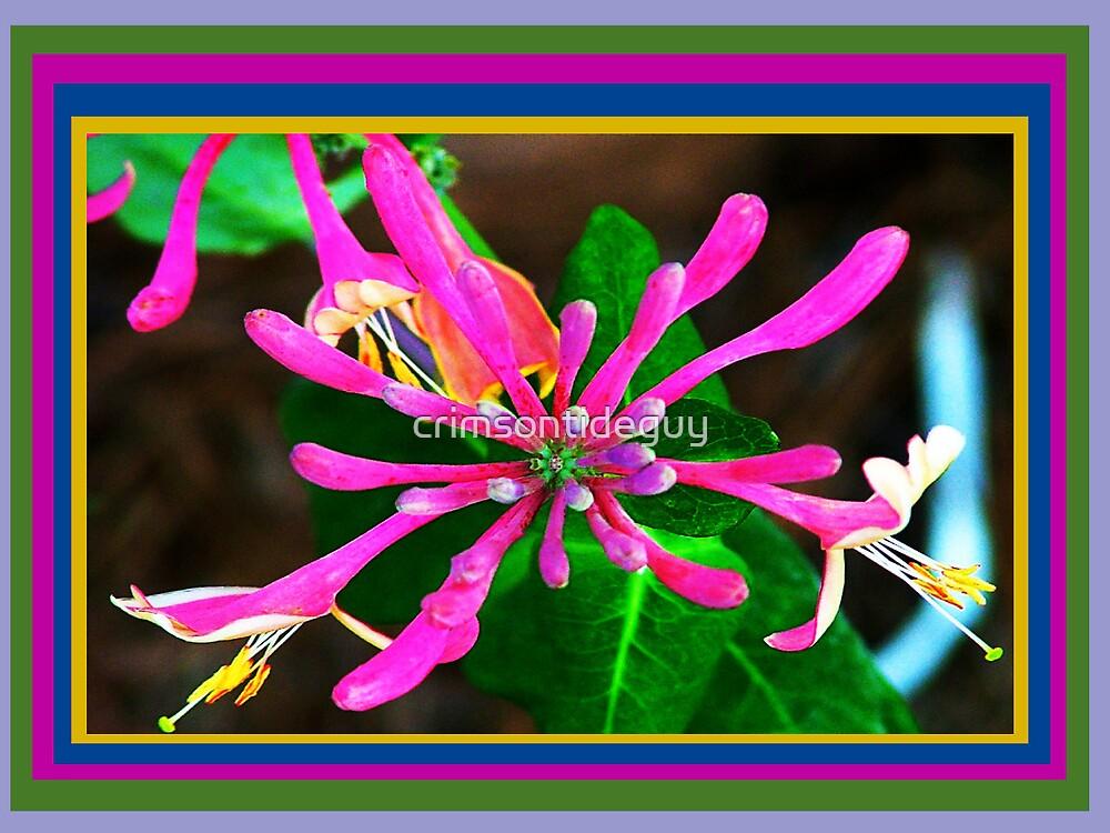 Mardi Gras Hybrid Honeysuckle by Mike Pesseackey (crimsontideguy)