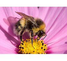 Bumble bee - Bombus lucorum Photographic Print