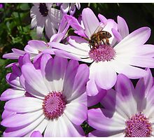 Beeing on flowers Photographic Print