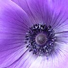 Purple Anemone by Framed-Photos
