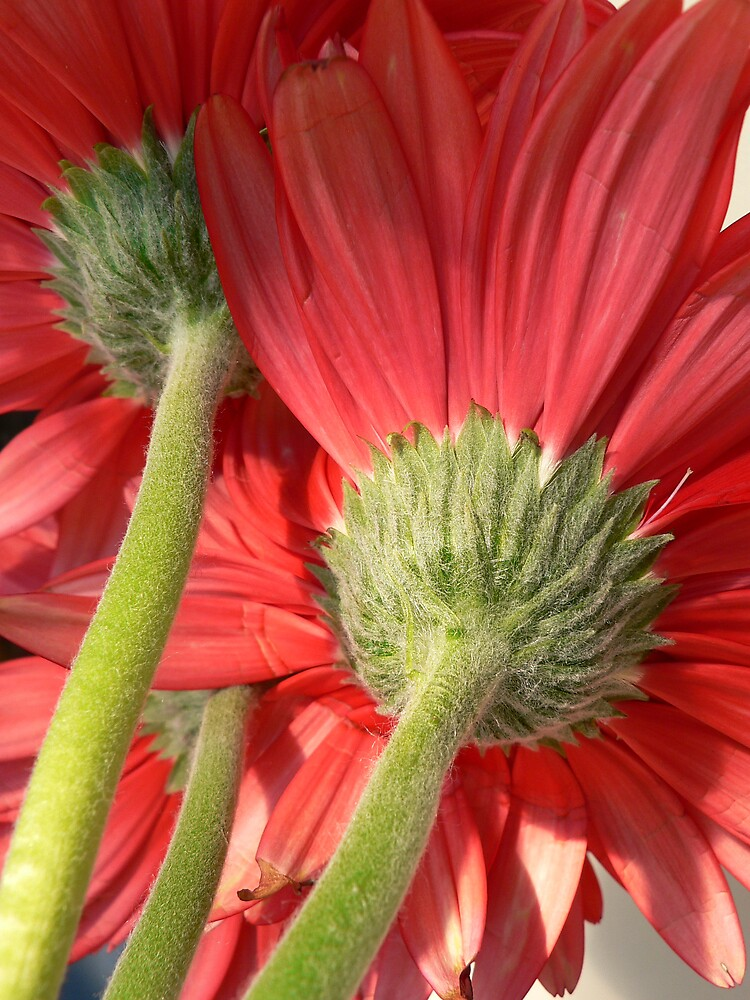 Red Gerbera by Framed-Photos